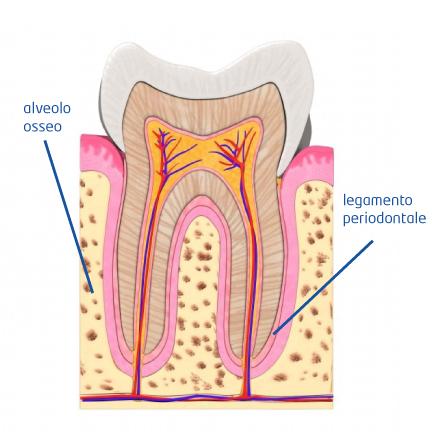 info-dente